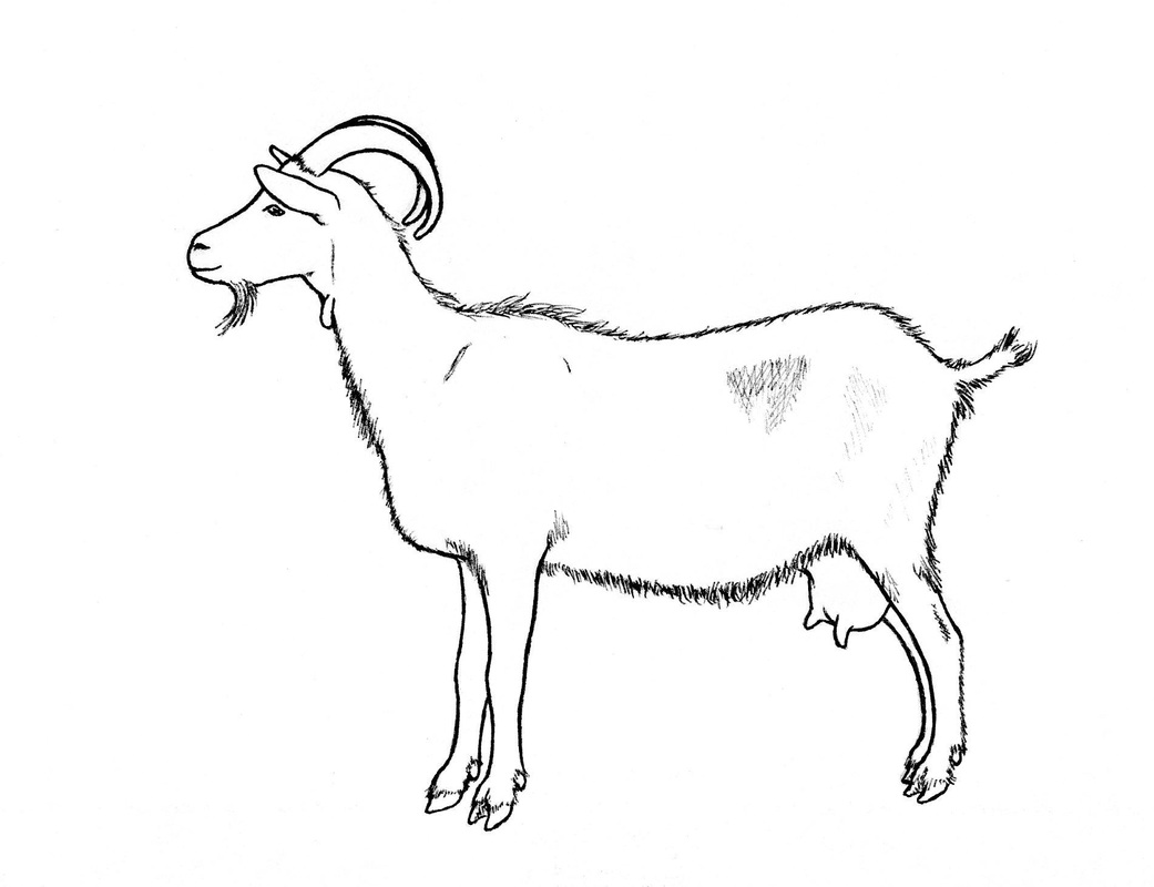 Other Goat Drawings